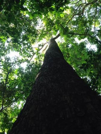 Kynan tree.jpg